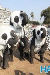 """泰国办""""熊猫展"""" 将大象化妆成大熊猫"""